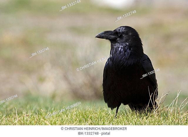 Common Raven (Corvus corax), Yellowstone National Park, Wyoming, Idaho, Montana, America, United States