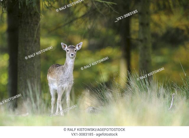 Fallow Deer ( Dama dama ), shy young, standing at the edge of an autumnal colored mixed forest, looks alert, Europe