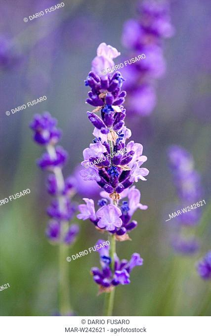 lumieres des alpes lavender, lavandula angustifolia