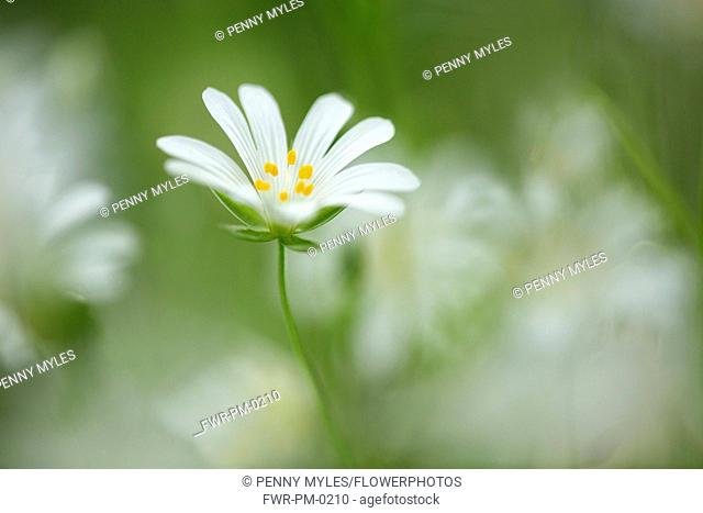 Stitchwort, Greater stitchwort, Stellaria holostea, White flower showing yellow stamen growing outdoor.-