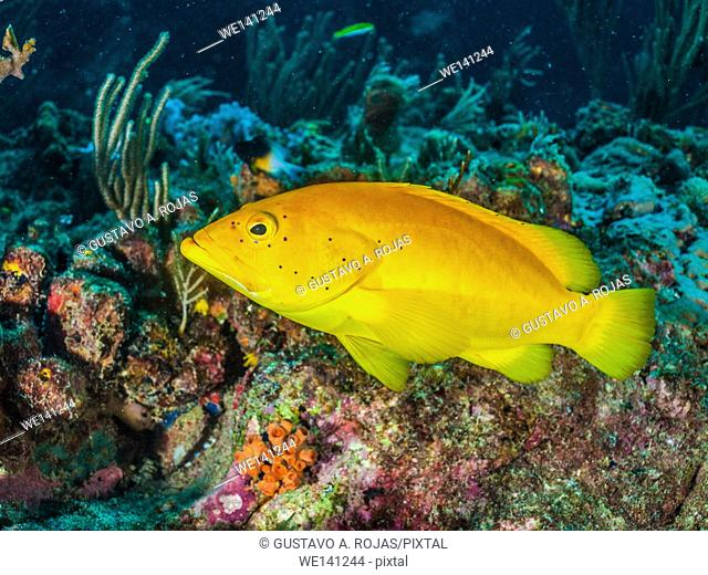 Coney Grouper, Cephalopholis fulva, , Los Roques, Venezuela. Los Roques, Venezuela phase coloration bright yellow with some blue spots