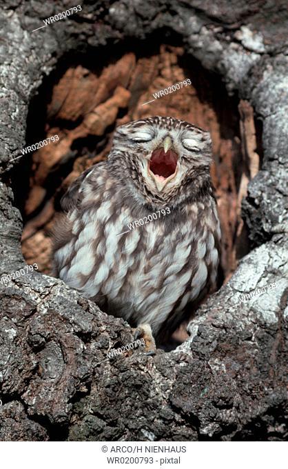 Little, Owl, yawning, Germany, Athene, noctua