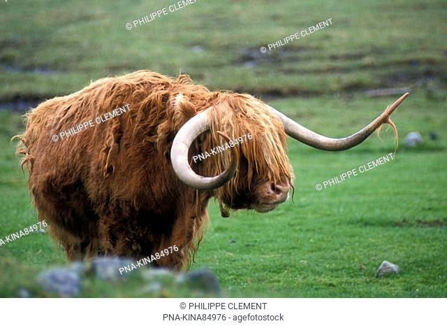Highland Cow Bos domesticus - Scotland, Great Britain, Europe