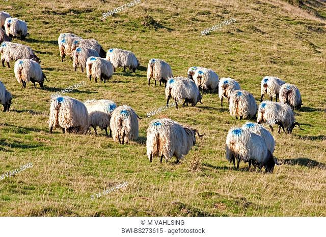 domestic sheep Ovis ammon f. aries, sheep with blue markings on their back, France, Pyrnnes-Atlantiques, Basque country, Basse Navarre