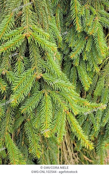 Picea Abies Acroona Stock Photo Picture And Rights Managed Image