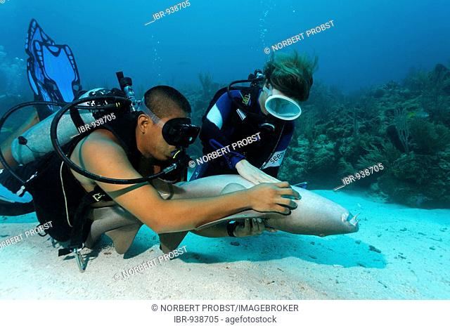 Scuba diver and her dive master caressing the underside of a Nurse Shark (Ginglymostoma cirratum) in way that causes the shark to fall into a state of apathy