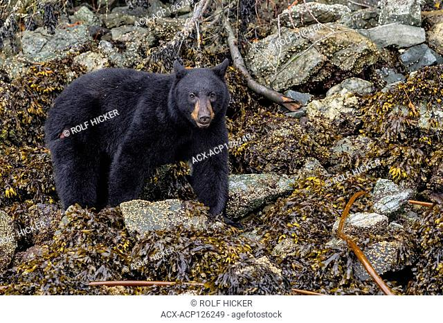 Black bear with a big scratch on his back side, feeding along the low tide line on an island in the Broughton Archipelago, First Nations Territory