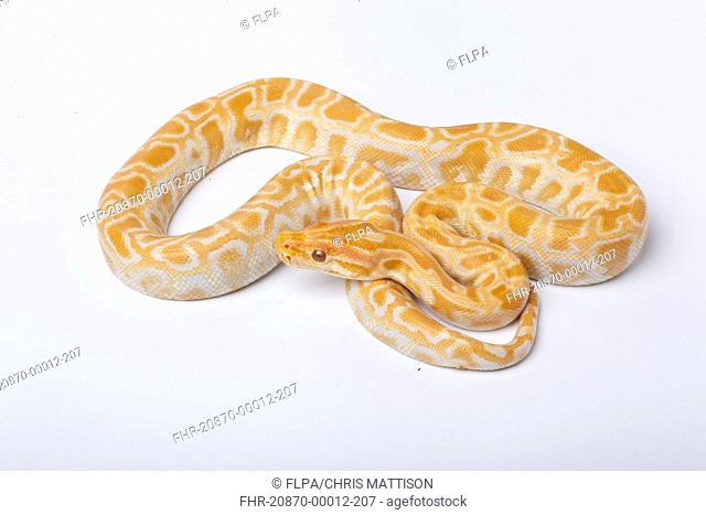 Burmese Python Python molurus bivittatus albino, immature