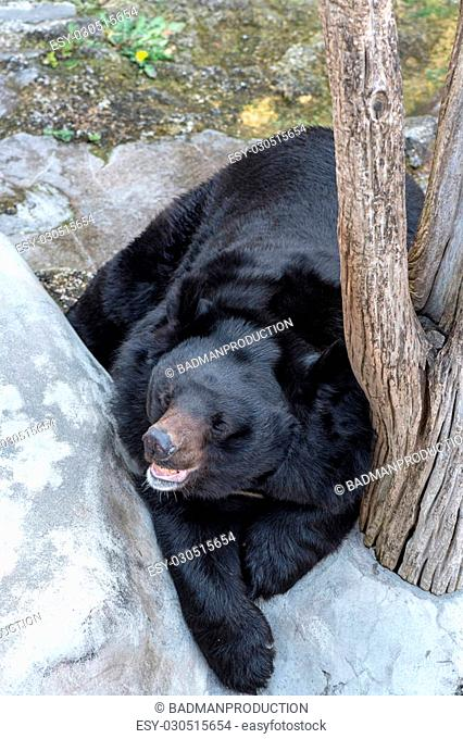 Big black bear chilling outside,selective focus