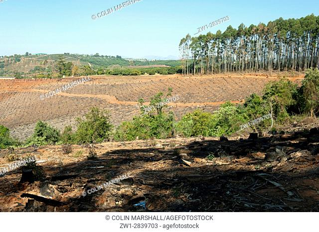 Harvested forest, Agatha, Tzaneen district, Limpopo province, South Africa