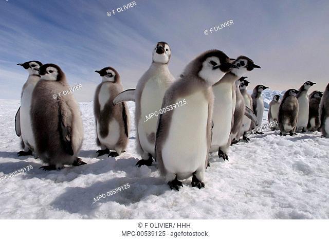 Emperor Penguin (Aptenodytes forsteri) molting chicks, Dumont d'Urville, East Antarctica, Antarctica