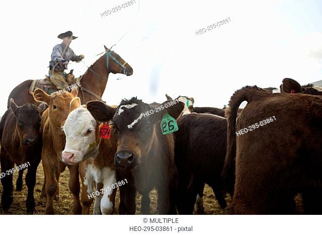 Cattle rancher on horseback lassoing calves