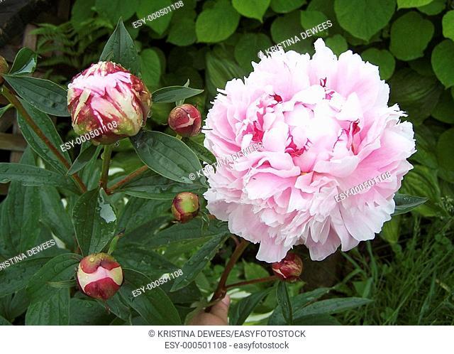 A blossom and some buds on a peony bush