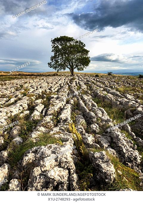 Lone Tree on Limestone Pavement near Malham Yorkshire Dales England