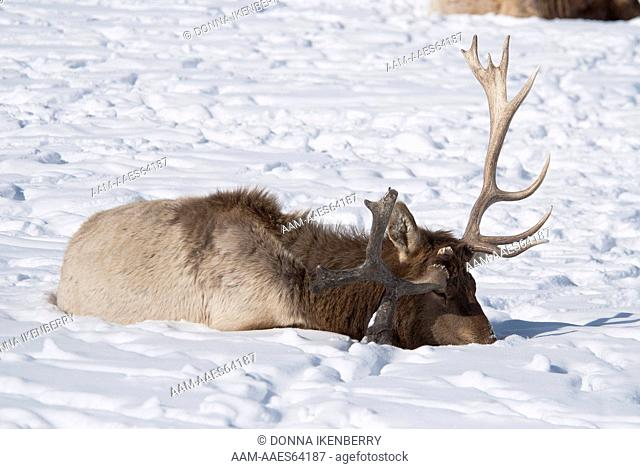 Rocky Mountain Elk, Cervus elaphus, herd, bull with odd antlers, National Elk Refuge, Wyoming, USA, February 2010