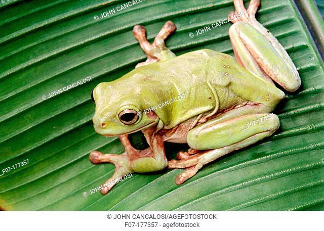 Treefrog (Litoria caerulea)