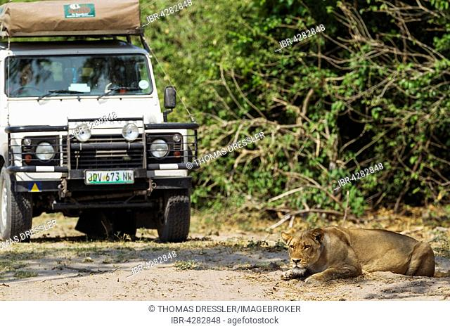 Lion (Panthera leo), lioness observes animals and is observed by tourists, Chobe National Park, Botswana