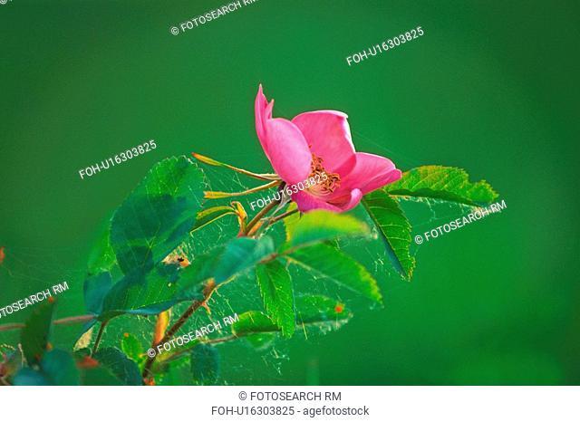flower rose nature icon wild alberta growing