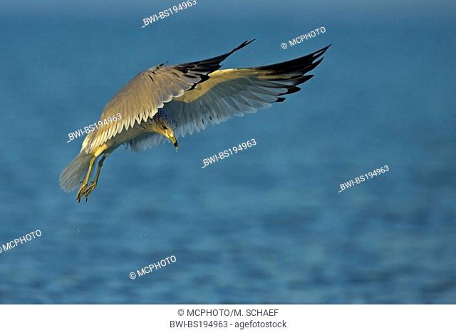 ring-billed gull (Larus delawarensis), on the feed, USA, Florida