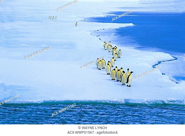 Emperor penguins Aptenodytes forsteri approach the ice edge near their nesting colony at Drescher Inlet, 72 degrees S. The birds are preparing to leave on a...