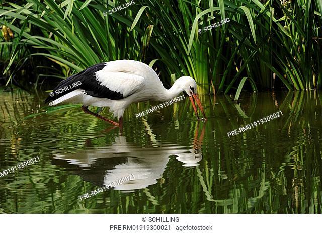 Foraging white stork, Ciconia ciconia