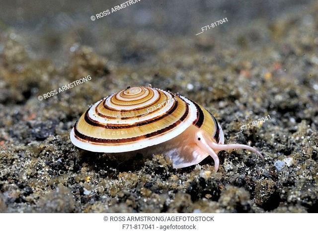 Sundial shell (Architectonica perspectiva). Lembeh Strait, Celebes Sea, North Sulawesi, Indonesia