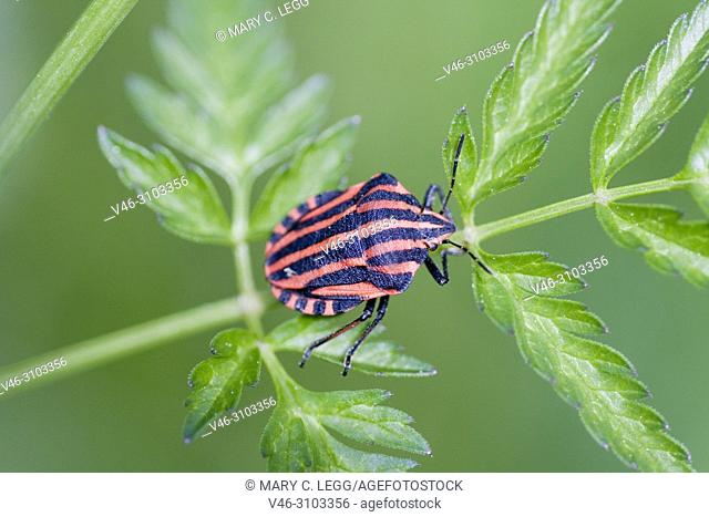 Red and Black Striped Bug, Graphosoma italica