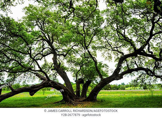 Live oak tree in Washington County Texas