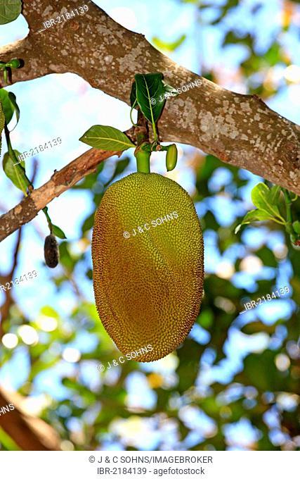 Jackfruit (Artocarpus heterophyllus), Nosy Komba, Madagascar, Africa
