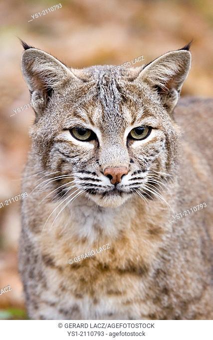 European Lynx, felis lynx, Portrait of Adult