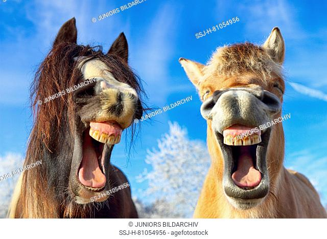 Norwegian Fjord Horse and Gypsy Vanner Horse. Portrait of mares in winter, yawning. Germany