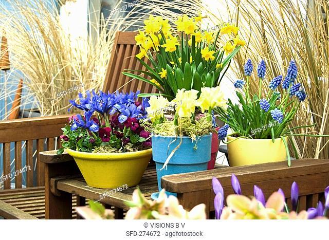Spring flowers narcissi, grape hyacinths, iris, pansies among garden chairs