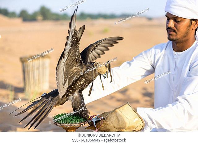 Trained Saker Falcon (Falco cherrug) wearing hood on glove of falconer. Abu Dhabi