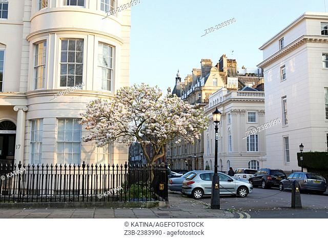 Elegant buildings and a blooming magnolia tree in spring across from The Regents Park in the Marylebone area of London, England, UK, Europe