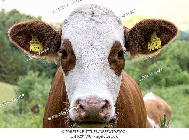 Cow with Ear Tags on an Alpine Pasture, Kalkalpen National Park, Austria
