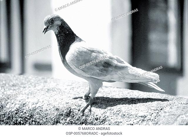 a natural dove bird animal at a portugal counter