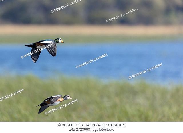 African pygmy goose (geese) (Nettapus auritus) in flight. Okavango Delta. Botswana