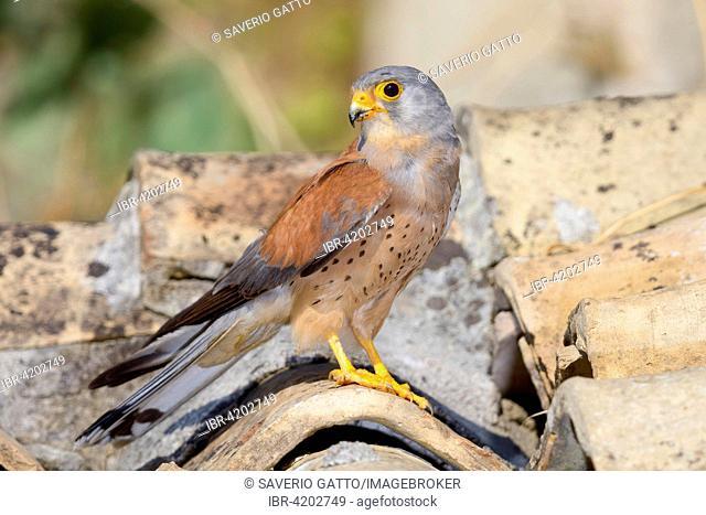 Lesser Kestrel (Falco naumanni), adult male on a roof, Matera, Basilicata, Italy