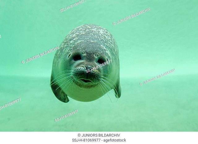 Common Seal, Harbour Seal (Phoca vitulina) under water in a basin. Seal Centre Friedrichskoog, Schleswig-Holstein, Germany
