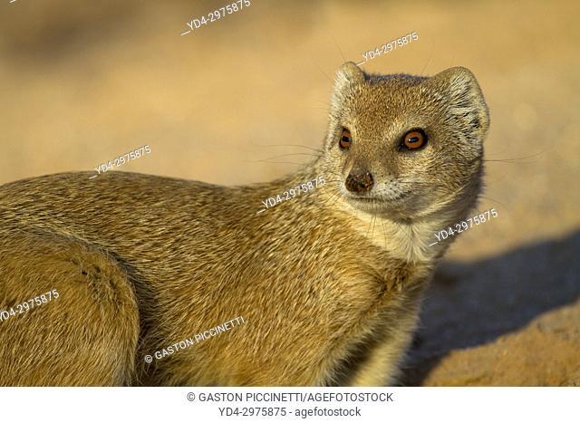 Yellow mongoose (Cynictis penicillata), Kgalagadi Transfrontier Park, Kalahari desert, South Africa