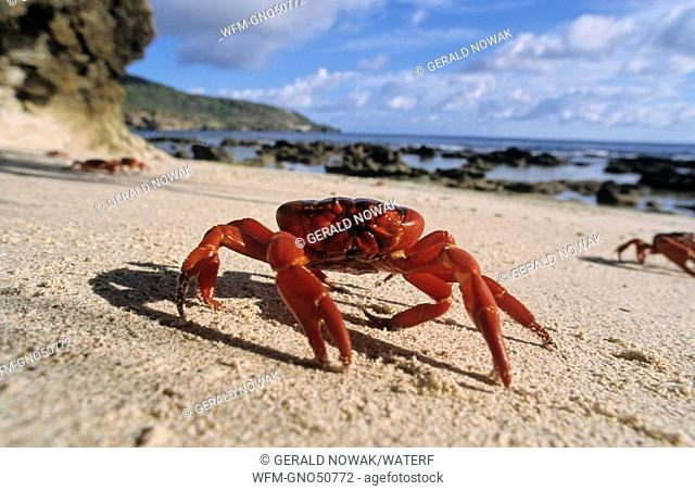 Migration of Christmas Island Red Crab, Gecarcoidea natalis, Christmas Island, Australia