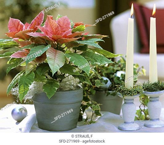 Poinsettia 'Silverstar Marble'