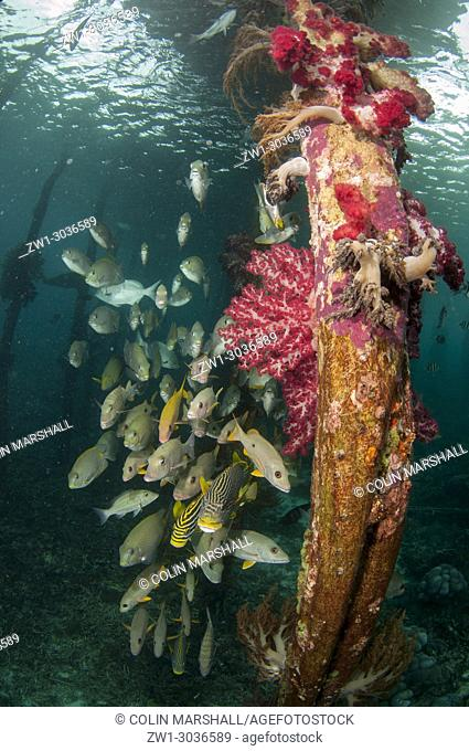 School of Onespot Snappers (Lutjanus monostigma), Oriental Sweetlips (Plectorhinchus vittatus) and Lined Rabbitfish (Siganus lineatus) by coral-coverdd pylons...