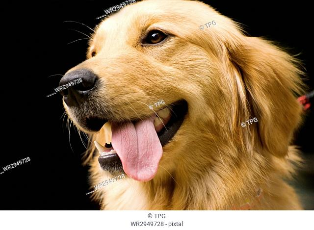 Lovely Golden Retriever stick its tongue out