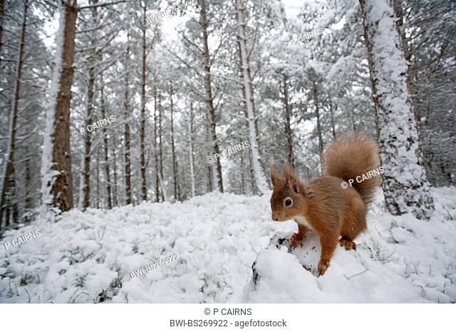European red squirrel, Eurasian red squirrel Sciurus vulgaris, on the ground of a snow-covered pine forest, United Kingdom