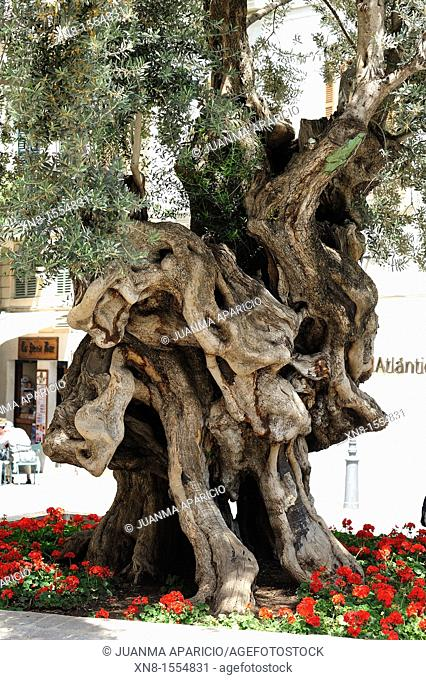 Olivera de Cort, Cort's olive tree is located in the middle of the square with the same name as the town of Palma, in front of the City of the Mallorca...