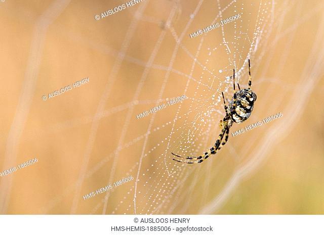 France, Lobbed Agriope (Argiope lobata)