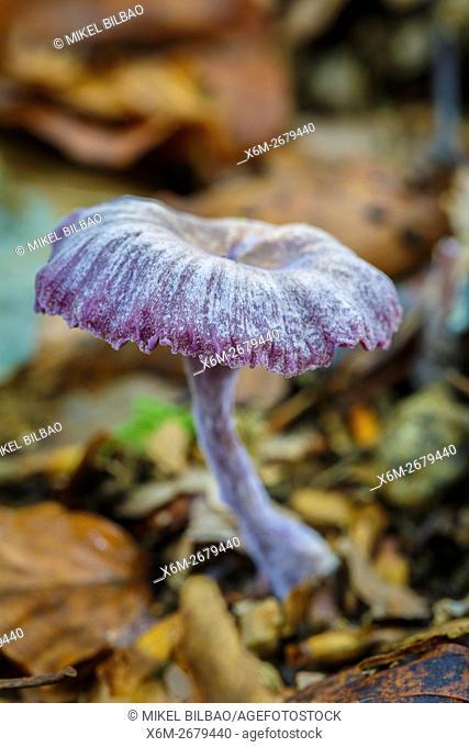 Amethyst deceiver (Laccaria amethystina). Saja-Besaya Natural Park. Cabuerniga valley. Cantabria, Spain