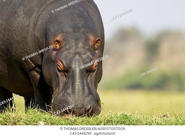 Hippopotamus (Hippopotamus amphibius) - Grazing at the bank of the Chobe River. Photographed from a boat. Chobe National Park, Botswana