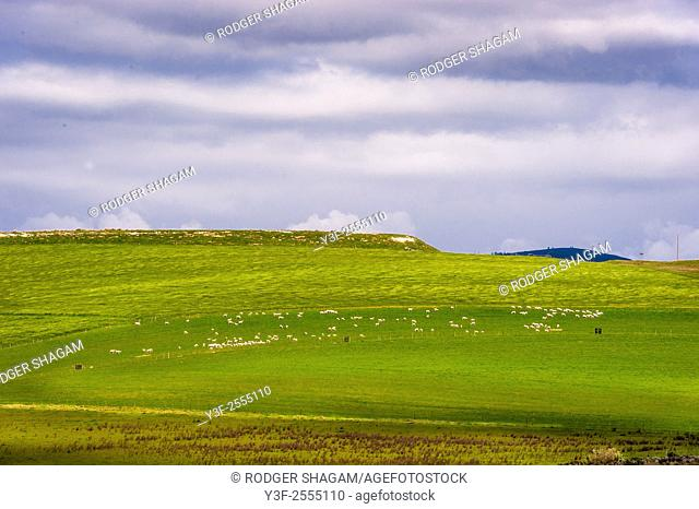 Sheep graze peacefully on distant meadows. Western Cape Province, South Africa. A pastoral scene